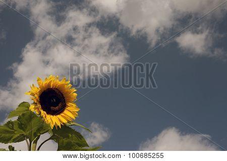 Sunflower Sky Blue