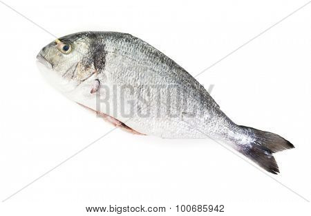 Raw gilt-head bream. Fresh eviscerated Dorade isolated on white background