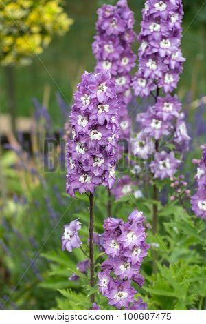 Beauty  Purple Delphinium Flowers in Garden in summer