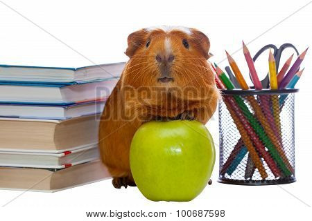 Guinea pig, green apple and school supplies