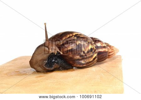 snail  on wood isolate on white background
