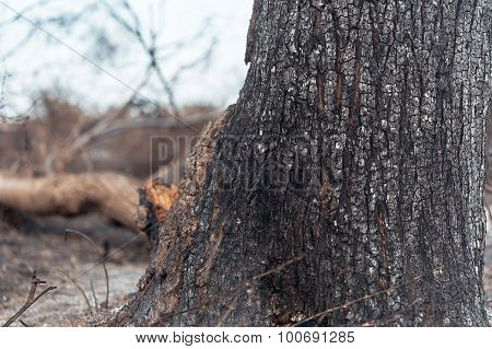 Charred Trunk Of Tree