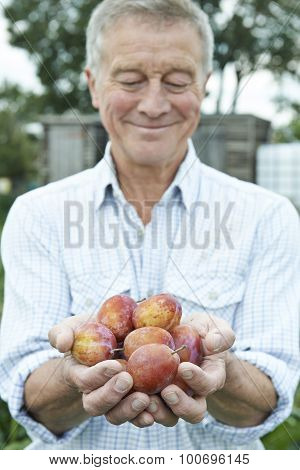 Senior Man On Allotment Holding Freshly Picked Plums
