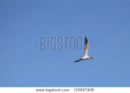 Caspian Tern On Blue Sky