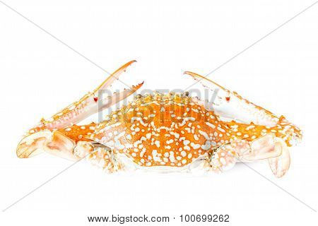 Crab Isolated On White Background - Serrated Mud Crab