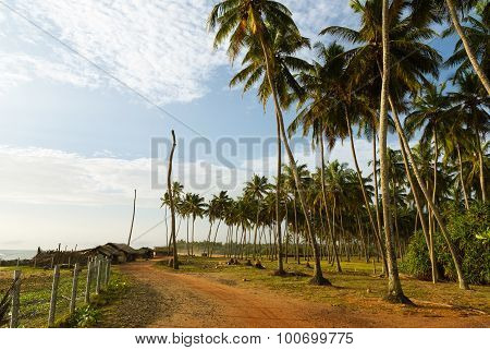 Dirt Road With Coconut Trees