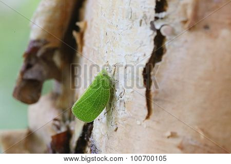 Leaf Bug on River Birch - Betula Nigra