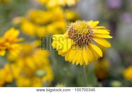 Gaillardia - Commotion - Moxie Blanket Flower