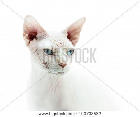 Hairless Cat Sphinx Portrait
