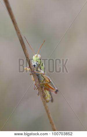Grasshopper on straw