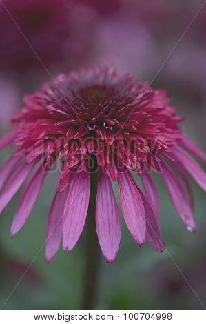 Echinacea - Supreme - Elegance,