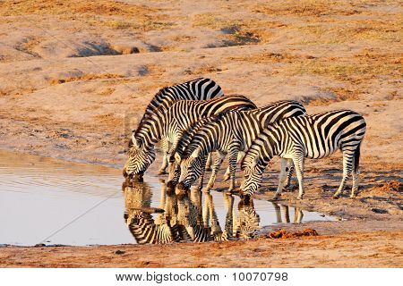 Small herd of Plains Zebra drinking