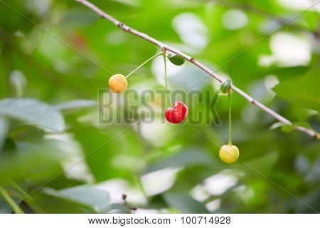 Cherries Ripen On The Branch On Blurred Background