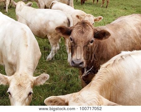 Brown Dairy Cow Face