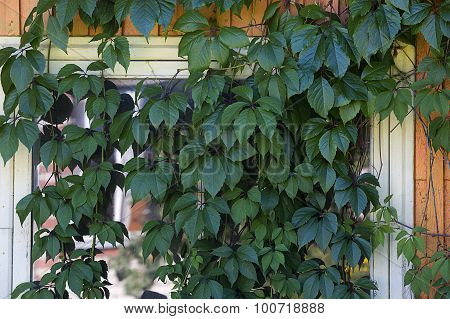 Window Of Building Covered By Plant