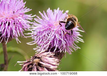 Honey Bee On A Purple Flower