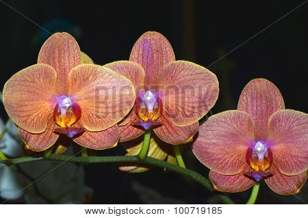 Orchid Latin name Orchis phalaenopsis flowers