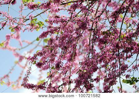 Judas Tree Spring Blossom.