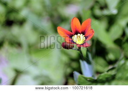 Sparaxis Tricolor Flower Blossom.