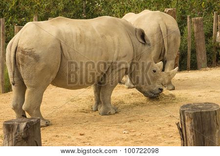 the rhinoceros