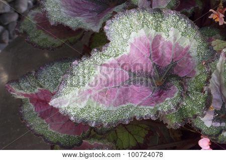 Begonia - Rex-cultorum - Constellation Libra
