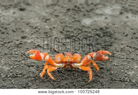 Red Cliff Crab, Ecuador