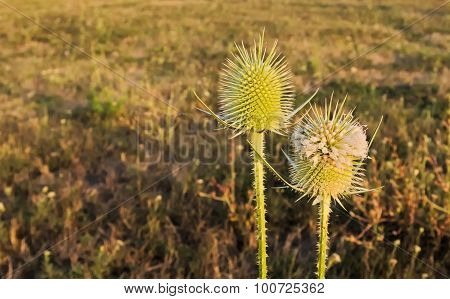 Thistle blooming in the grass