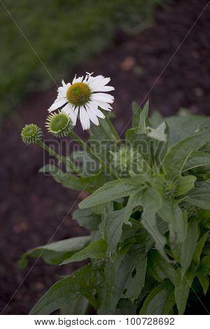 Flower - Echinacea - Alaska
