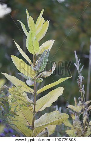 Rose milkweed - Asclepias incarnata
