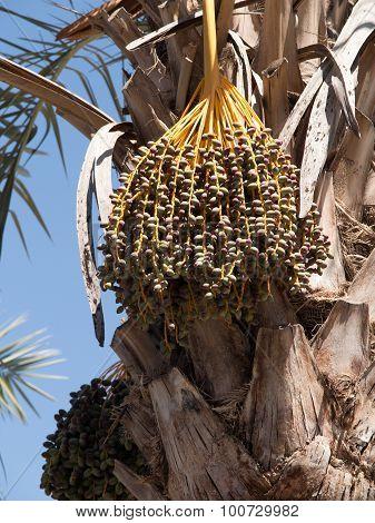 Fresh Dates On Date Palm