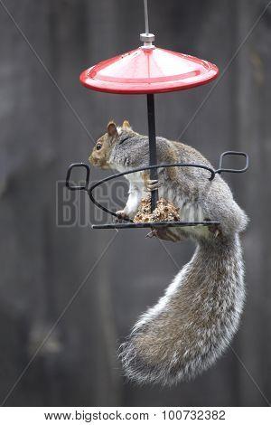 Brown Squirrel On Bird Feeder