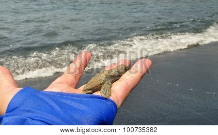 Small Baby Turtle On Human Hand
