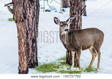 Young Mule Deer In Winter