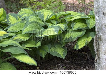 Hosta - Paul's Glory