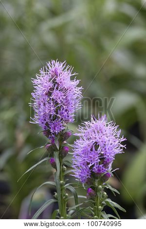 Prairie Gay Feather - Blazing Star