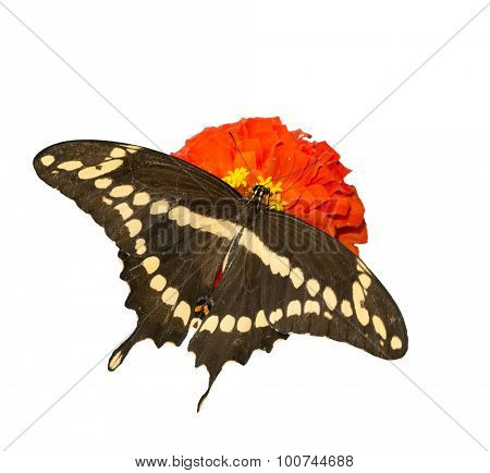 Dorsal view of Papilio Cresphontes, Giant Swallowtail butterfly feeding on a red Zinnia flower, isolated on white