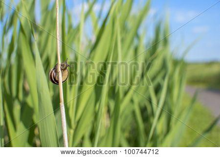 Snail climbing a grass blade on a summer day