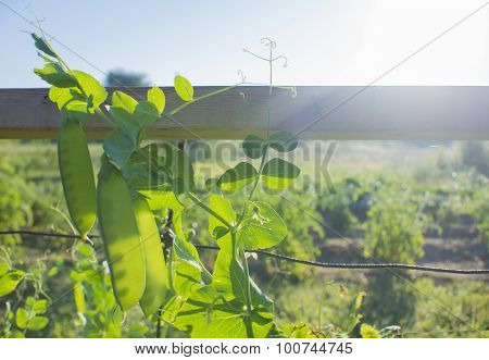 Organic green peas growing on vegetable garden
