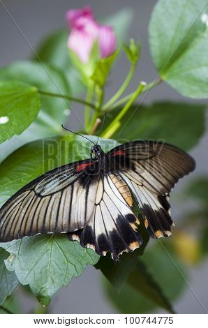Female great mormon butterfly (Papilio memnon agenor) perching on pink flower