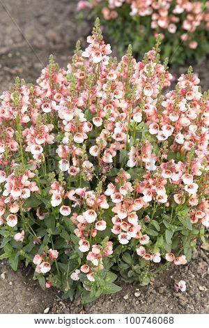 Diascia New Salmon 90 Garden Gardening Plant Nature Pink Flower