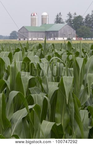 Corn crop with silos and barn