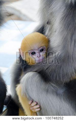 Dusky Leaf Monkey;