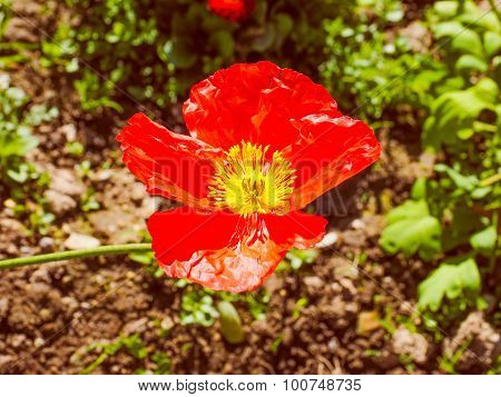 Retro Look Papaver Flower