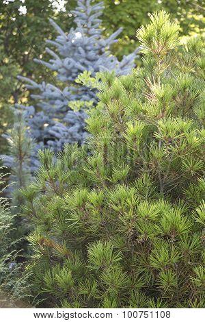 Pinus Bun. Rowe Arboretum