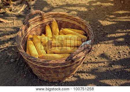 Harvested Corn In Wicker Basket