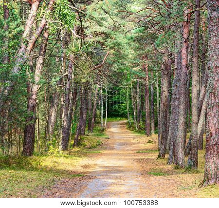 Walking road in the pine forest. Early fall