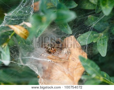 Garden Spider In Cobweb Close Up
