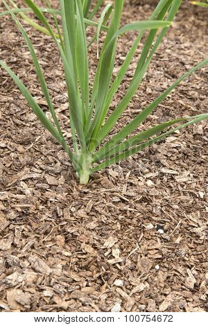 Spring Onion - Allium - Gardlic