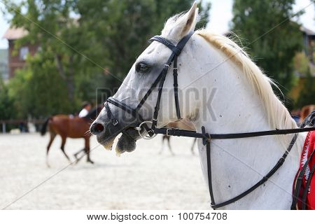 Portrait Of A Dressage  Horse On Nature Background