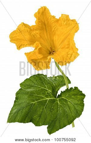 Beautiful Yellow Flower Of Pumpkin, Isolated On White Background